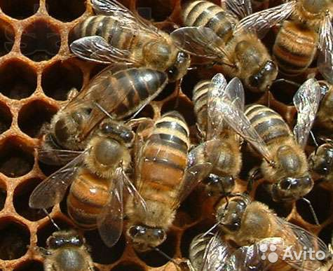 Фото - Пасика, пчелосемьи