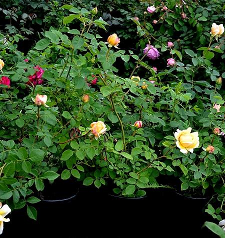 Фото - Саженцы роз в 2х л. контейнерах для посадки летом