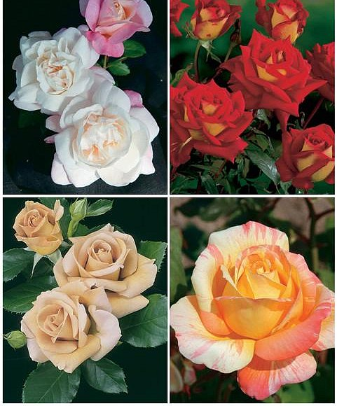 Фото - саженцы роз (более 65 сортов)