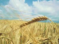 Зерна будет меньше, чем мы думали